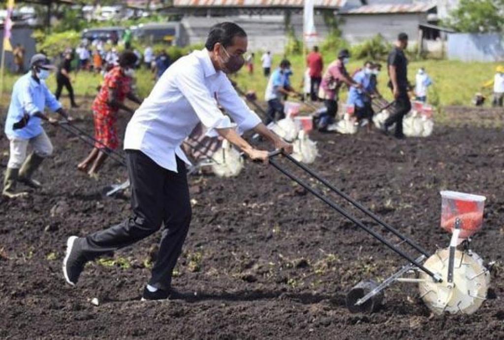 Bareng Petani, Presiden Jokowi Tanam Jagung di Sorong